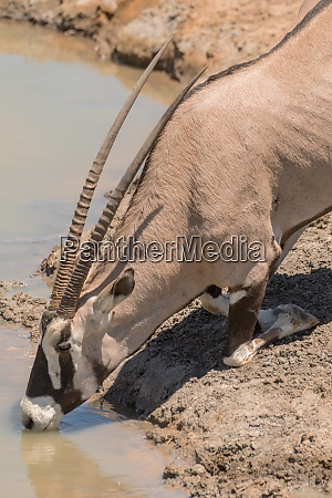 oryx antelope drinks at the waterhole
