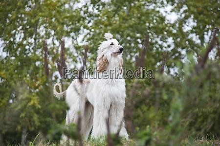 afghan hound dog stands among nature