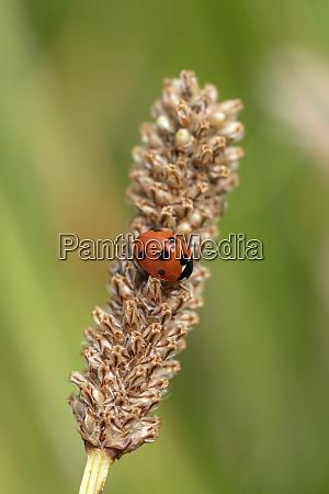 ladybug coccinella septempunctata ladybird
