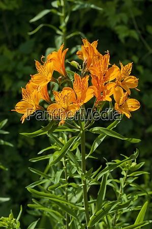 lilium pumilum lily