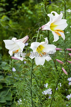 lilium regale regal lily
