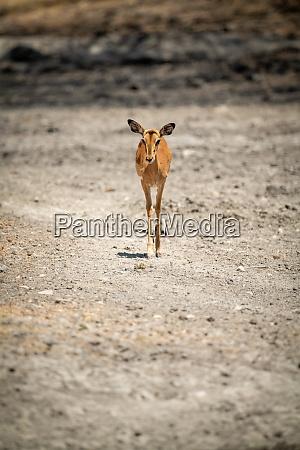 female common impala walking over rocky