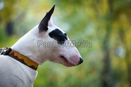 white bull terrier breed dog with