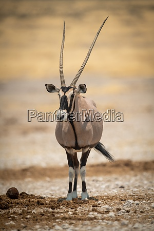 gemsbok stands eyeing camera in salt