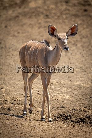 female greater kudu walks across rocky