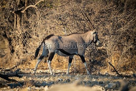 gemsbok walks over rocks past dense