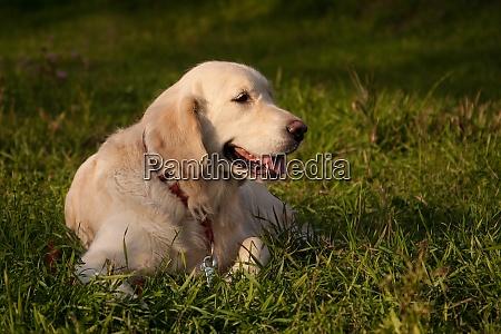 golden retriever dog breed lies on