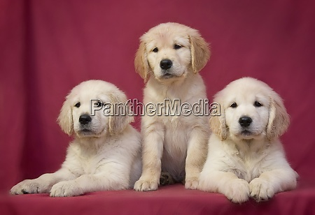 three little cute smart golden retriever