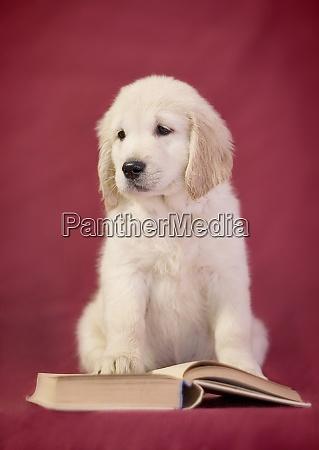 little smart golden retriever puppy dog