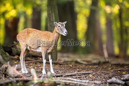 female mouflon observing in forest in