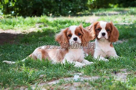 two young dogs cavalier king charles