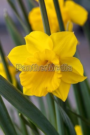 daffodil narcissus welsh warrior