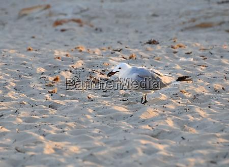 seagull on the beach on menorca