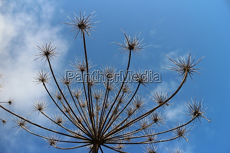 dry inflorescences of hogweed