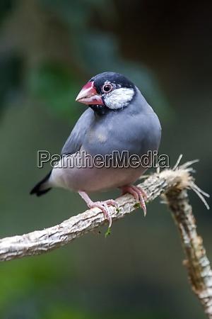 java sparrow lonchura oryzivora bird
