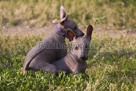 two xolo puppies xoloitzcuintle mexican nude