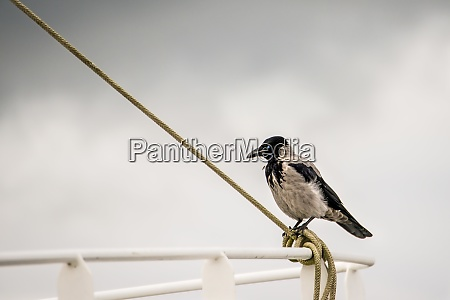 hooded crow on a reling