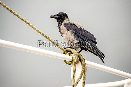 hooded crow on a railing
