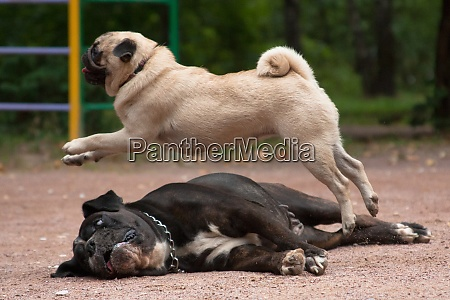 circus number of trained dogs pug