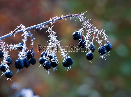 frosted black aronia berries