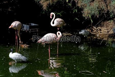 flamingos molucca ibis