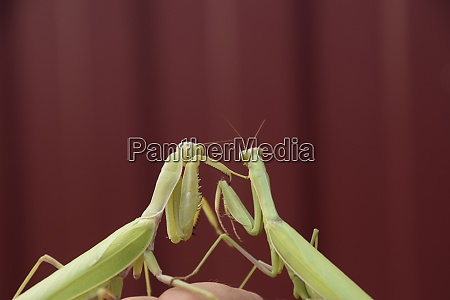 mantis on a red background mating