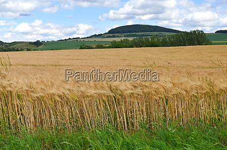 grain field with cornflowers in summer