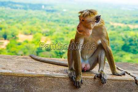 monkey sri lanka sigiriya rock