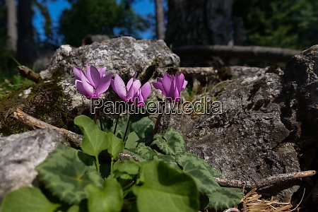 alpine cyclamen between rocks in the