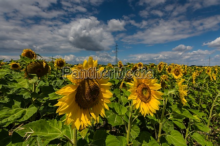 many sunflowers on a field and