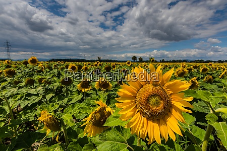 many sunflowers on a field in