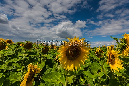 sunflowers on a field in the