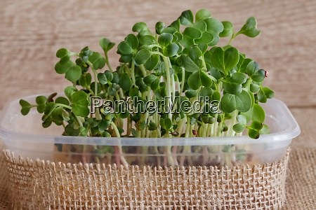microgreen of radish in a container