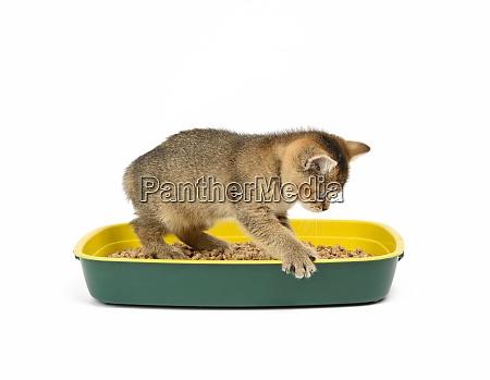 kitten golden ticked british chinchilla straight