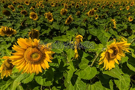 lot of sunflowers on a field