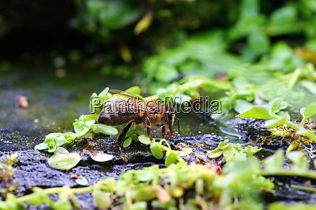 honey bee drinking water by stream