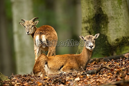 two mouflons observing by a beech