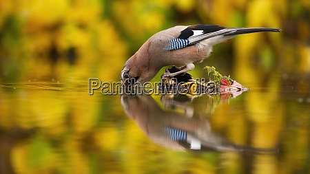 thirsty eurasian jay drinking water from