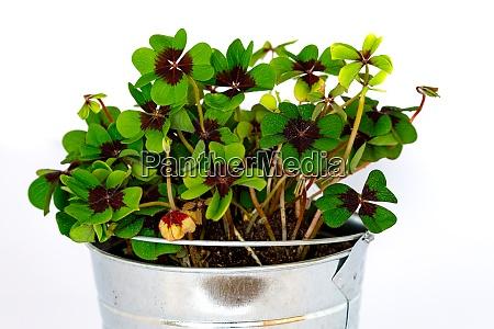 green lucky clover in a pot