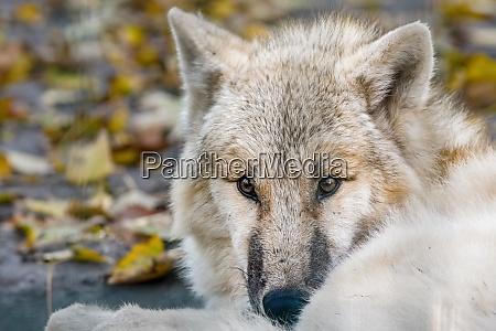 a white arctic polar wolf