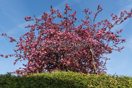 brightly blooming crabapple