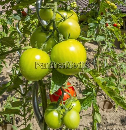 sunny illuminated tomato plants