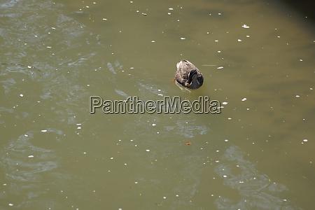 duck and cherry swim inokashira pond