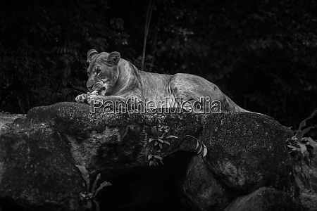 eat meat female lion monochrome