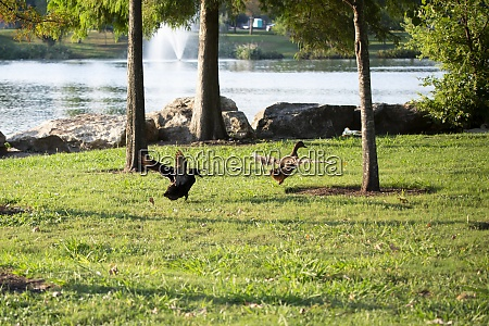 ducks fighting over territory
