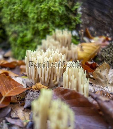 coral fungi closeup
