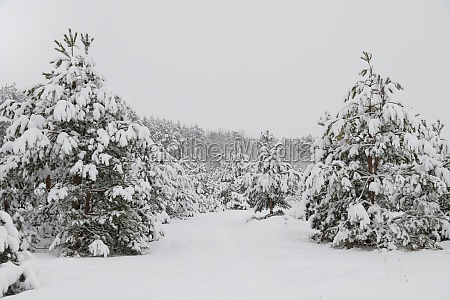 falling snow in the winter spruce