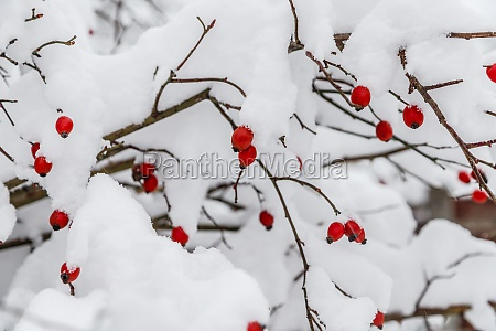 red frozen rose hips with snow