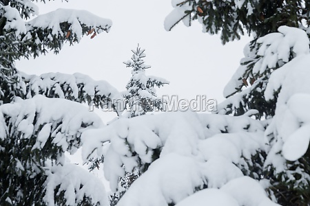 snowy fir trees and branches in