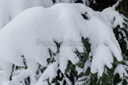 snowy fir branches in winter forest